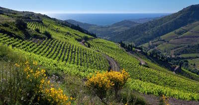 Banyuls sur mer les vignobles route des vins en albere guide du tourisme des pyrenees orientales