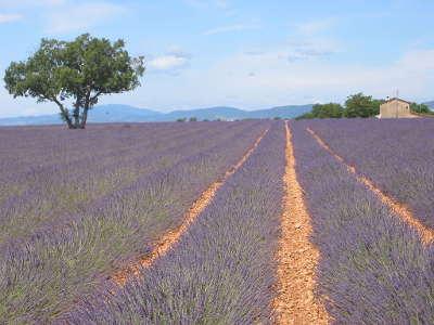Le plateau de valensole en juillet les lavandes en fleurs guide du tourisme des alpes de haute provence