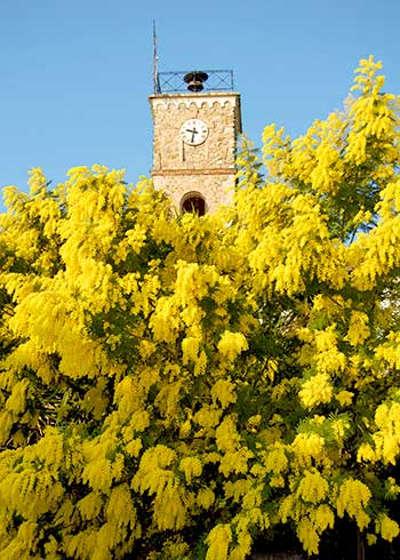 Route du mimosa guide du tourisme