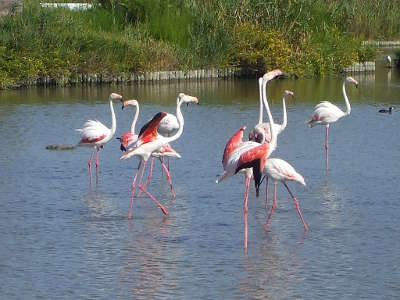 Flamants roses dans le parc national de camargue