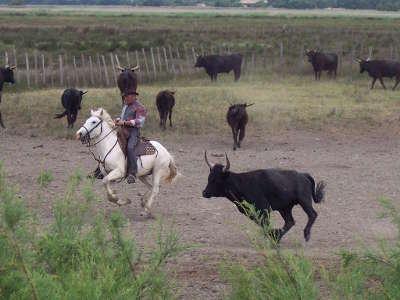 Gardian et taureau en camargue parc national de camargue