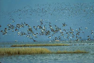 La baie de l aiguillon flux migratoire des oiseaux routes touristique de charente maritime guide du tourisme poitou charente