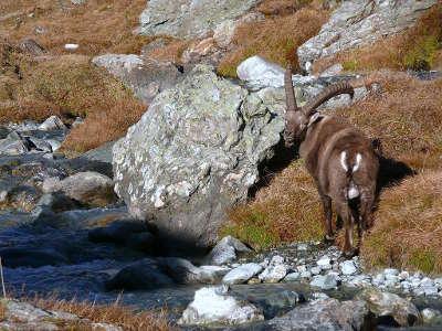 Parc national de la vanoise bouquetin pres du refuge de plaisance routes touristiques de savoie guide touristique de rhone alpes
