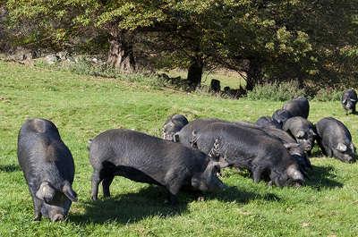 Porc noir de bigorre routes touristiques de hautes garonnes guide du tourisme midi pyrenees