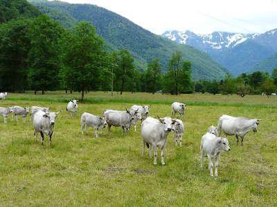 Troupeau de gasconnes dans leur fief pyreneen routes touristiques de hautes garonnes guide du tourisme midi pyrenees